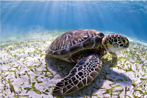მწვანე კუ. ფოტო: Antonio Busiello/WWF-US
